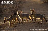 Cape-fox-cubs-entering-den