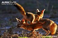 Cape-fox-juvenile-playing-with-adult