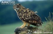 Eurasian-eagle-owl-with-marmot-prey