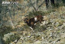 Male-European-mouflon.jpg