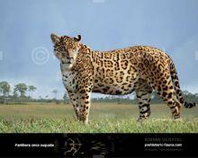 Panthera-onca-augusta-2014-738x591.jpg