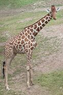Reticulated Giraffe (V3)