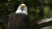 Seneca Park Zoo Eagle