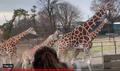 Six Flags Giraffes