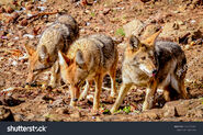 Stock-photo-group-of-coyotes-eating-1163423203
