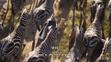 TLK 2019 Zebras