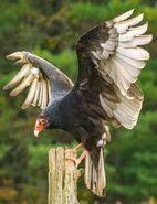 Turkey Vultures In Canada