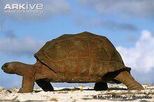 Aldabra-giant-tortoise-walking.jpg
