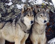 Alpha Male and Beta Female Wolves