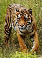 Bali tiger (Panthera tigris balica)