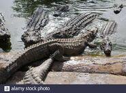 Bask of Dwarf Crocodiles