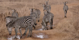 Bronyx Zoo TV Series Grant's Zebras