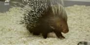 Bronyx Zoo TV Series Porcupine