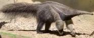 Fresno Zoo Anteater