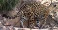 Jacksonville Zoo Jaguar