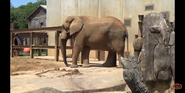 Knoxville Zoo Elephant