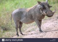 Real-Life Pumbaa