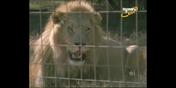 Scout's Safari Lion