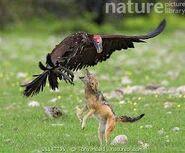 Vultures Vs Jackal
