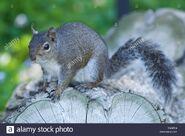 Western grey squirrel (Sciurus griseus)