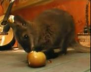 Zoboomafoo Wallaby