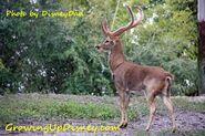 DAK Eld's Deer