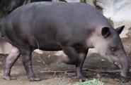 Franklin Park Zoo Tapir