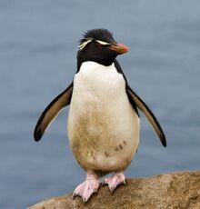Gorfou sauteur - Rockhopper Penguin.jpg
