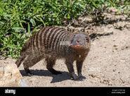 Mongoose, Banded (V2)