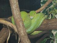 Python, Green Tree (V2)