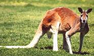 Red Kangaroo Boomer