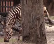 Virginia Zoo Zebra