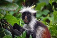 Zanzibar Red Colobus Monkey