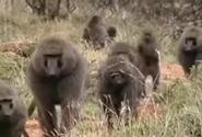 Zoboomafoo Baboons