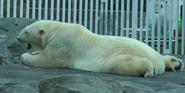 Alaska Zoo Polar Bear