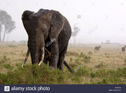 Elephants-in-rain-storm-BF4574