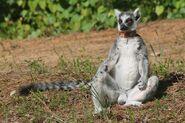 Female Ring-Tailed Lemur