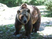 Grizzly Bear Boar