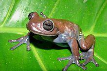 Cordillera Central Tree Frog
