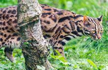 Image 3594e-Leopard-Cat.jpg