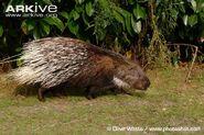 Indian-crested-porcupine-side-profile-captive