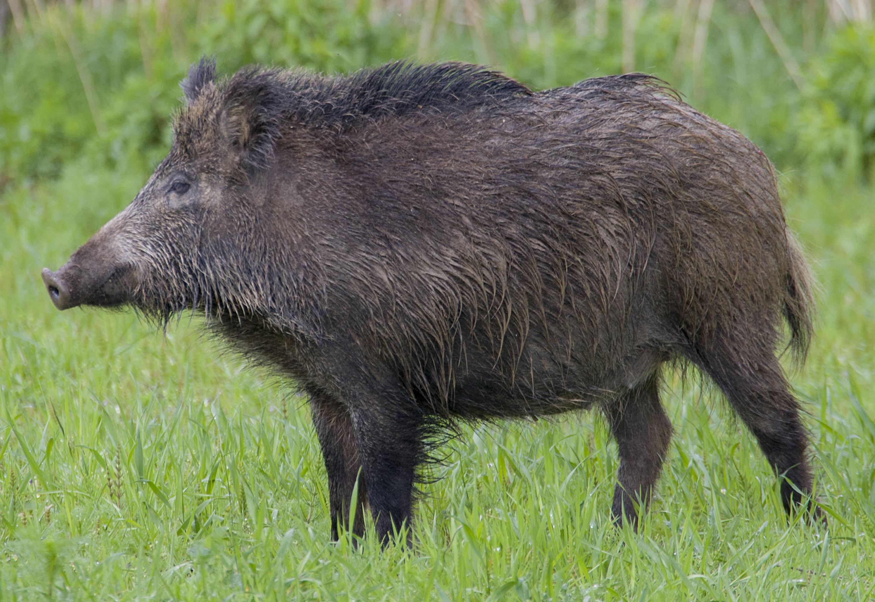 Central European Boar