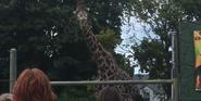 Racine Zoo Masai Giraffe
