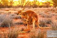Red Kangaroo (V2)