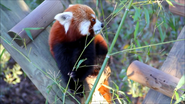 Virginia Zoo Red Panda