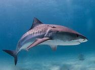 1024px-Tiger shark.jpg