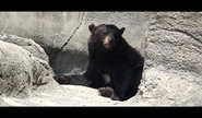 CMZ Black Bear 2