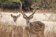 Chital buck and doe