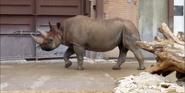 Dallas Zoo Rhino