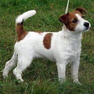 Dog, Jack Russel Terrier